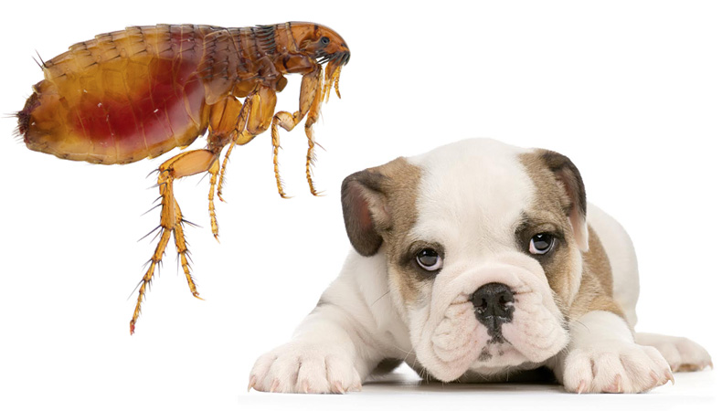 Flea Control – Get rid of them!