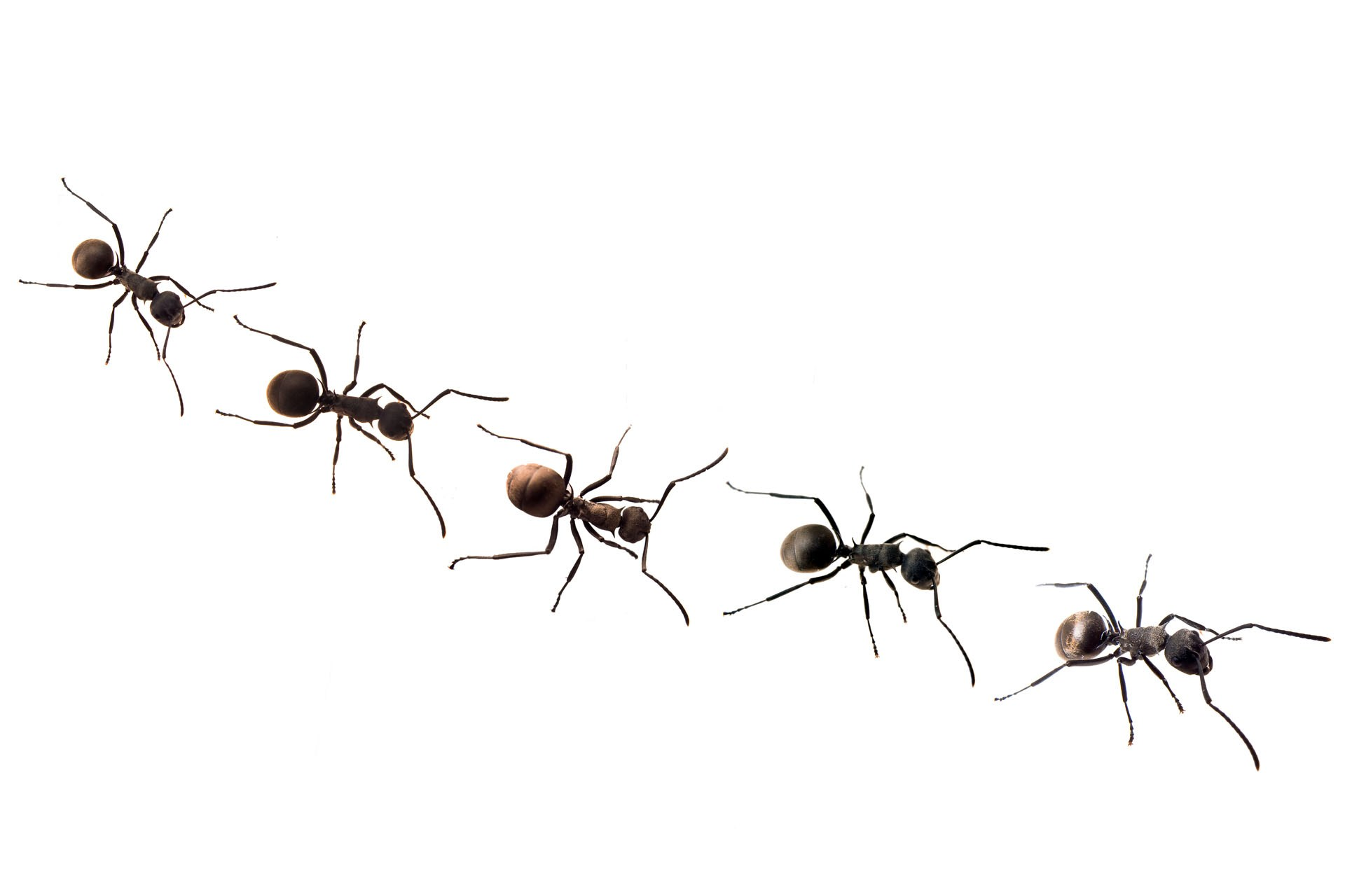 Ant Control Guaranteed To Help All About Pests LLC