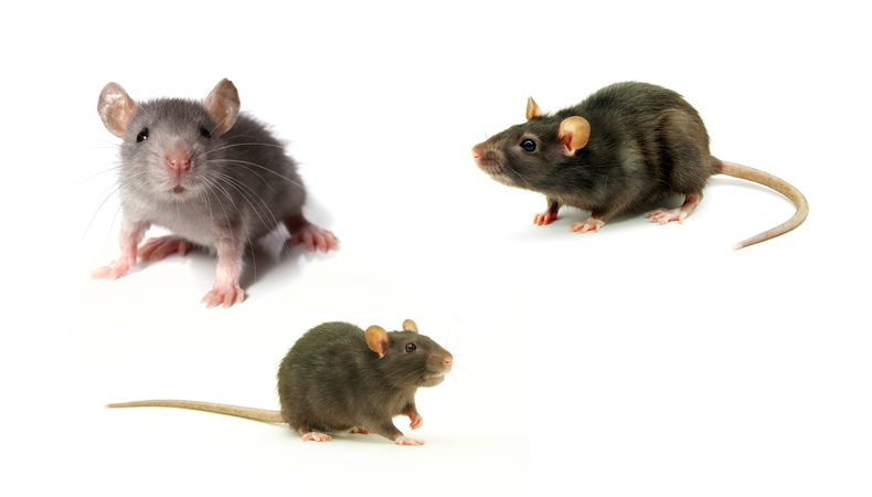 Rodent Control – Residential or Commercial